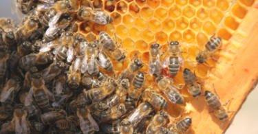 Investigadores avaliam risco para abelhas melíferas