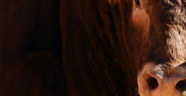 Projeto para a valorização da carne de ruminantes em sistemas intensivos apresenta resultados