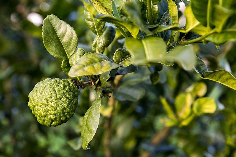 citrinos ancestrais