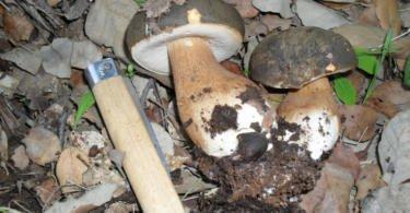 Quais os cogumelos selvagens que podem ser comercializados?
