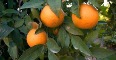 Turismo do Algarve quer elevar laranja a cartão de visita da região