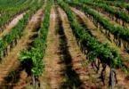 Produtora do Dão inicia processo de reconversão em vinha biológica
