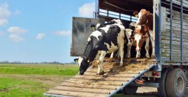 Parlamento Europeu quer melhor segurança dos animais transportados