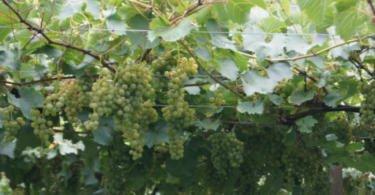 Brasil lança duas novas cultivares de uvas