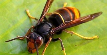 Portugueses criam armadilha para destruir ninhos de vespa-asiática