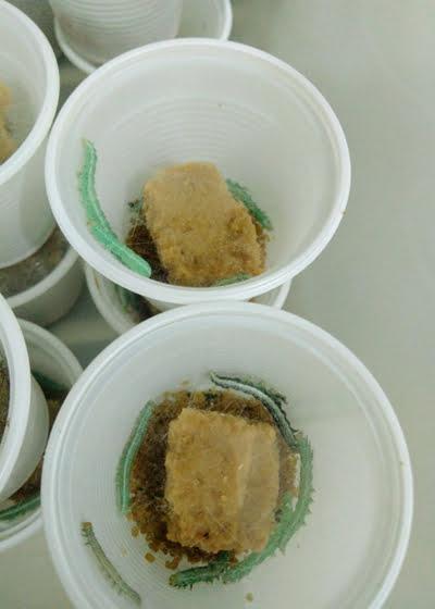 Investigação testa extratos de plantas daninhas no controlo de lagartas