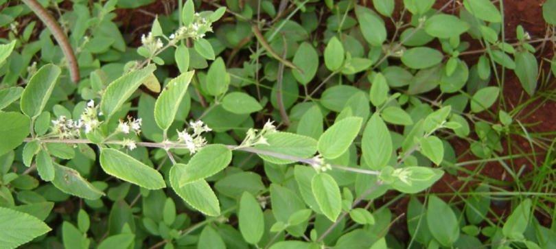 Produto natural aumenta a vida útil pós-colheita do morango