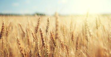 ANPOC publica lista de variedades recomendadas de trigo mole 2019/2020