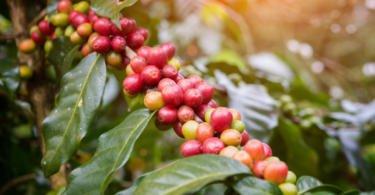 Delta quer pôr agricultores açorianos a produzir café