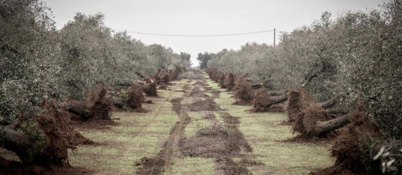 EFSA reforça avisos sobre Xylella fastidiosa