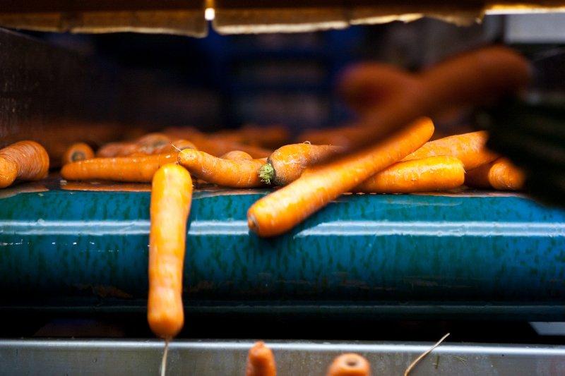 Nova fábrica de transformação de cenoura vai criar 183 postos de trabalho em Almeirim