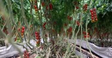 estufa de tomate horticilha grupo RAR vida rural
