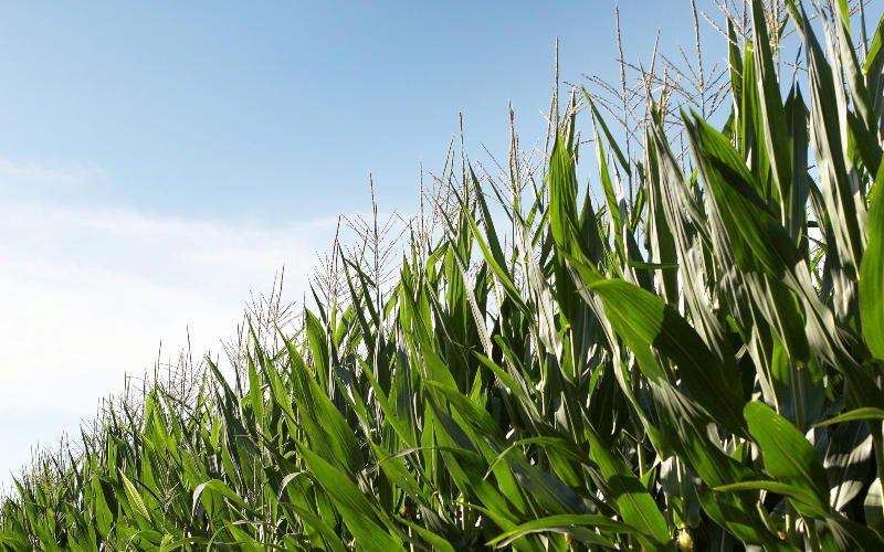 Milho Bt permitiu uma produção adicional de 1,89 milhões de toneladas na Península Ibérica