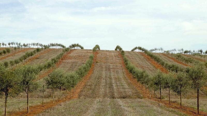 """Olival moderno """"pode ser sustentável e ecologicamente positivo"""", conclui EDIA"""