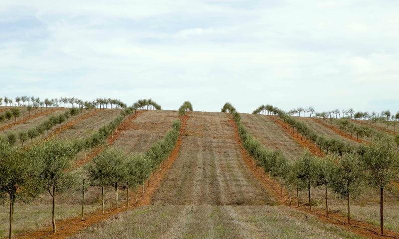 Agricultores criticam Governo pelo fim dos apoios ao olival em Alqueva