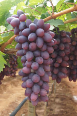 Embrapa desenvolve uvas adaptadas a regiões semiáridas