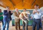 Efetivo de ovelhas Bordaleiras da Serra da Estrela reposto