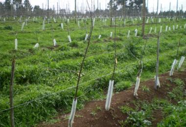 Investigação desenvolve maçã menos exigente com frio