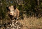 Período de licenciamento das caçadas a javalis alargado até dia 30 de setembro