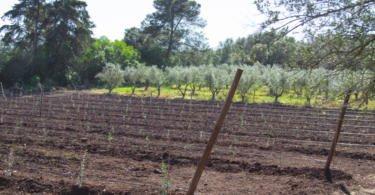 ISA cria novo olival de demonstração