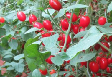 Brasil desenvolve tomate para vencer o desafio das altas temperaturas