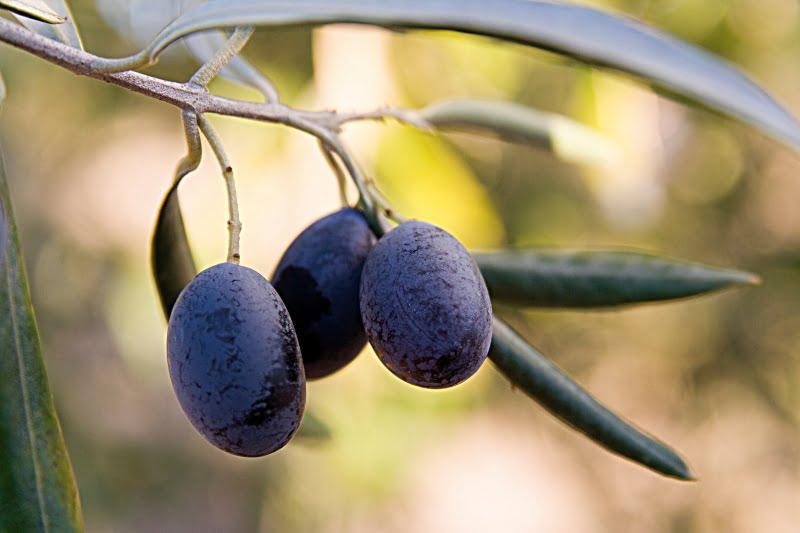 Cultivares de oliveira: Cornicabra