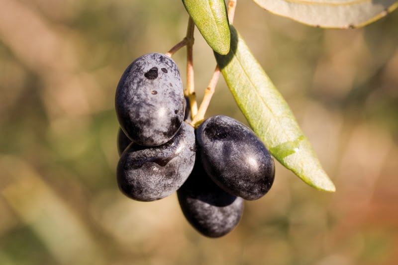 Cultivares de oliveira: Frantoio