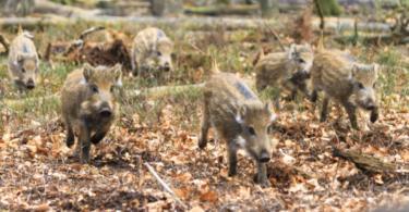 Cruzamento indesejado entre javalis e porcos domésticos aumenta risco de PSA