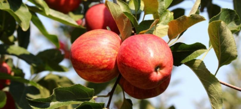 Produção de maçã deverá ser a maior das últimas três décadas, segundo o INE