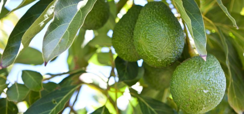 Granfer vai produzir abacate no Alentejo