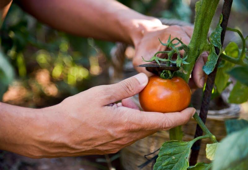UE anuncia medidas de emergência contra vírus do fruto rugoso castanho do tomateiro