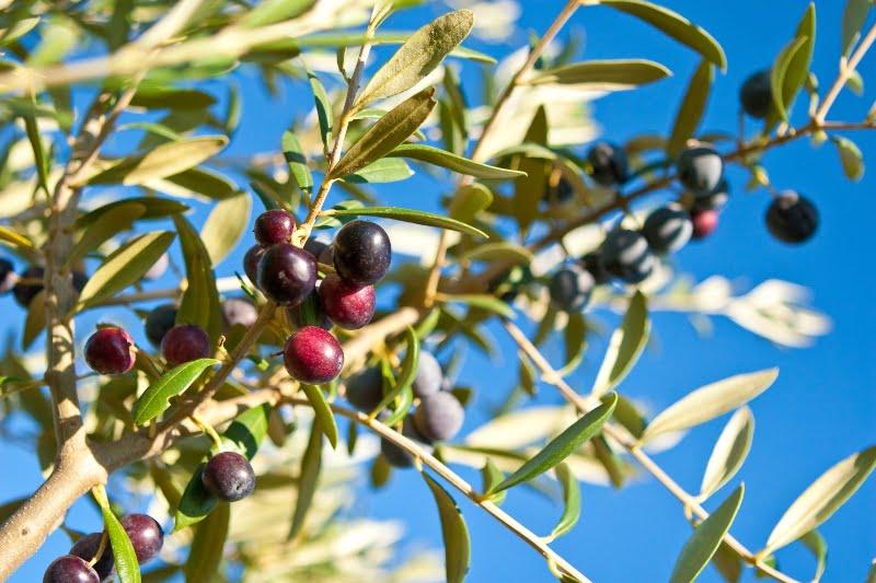 Produzidas 725 mil toneladas de azeitona em Portugal em 2018