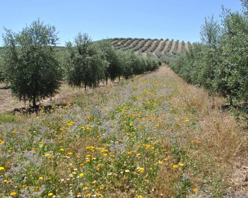 Margens multifuncionais aumentam em 130% as populações de insetos benéficos