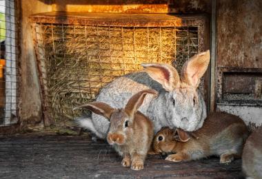 Identificado surto de Mycobacterium caprae em coelhos
