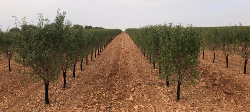 Primeiro ensaio de amendoal de sequeiro em Portugal realizado no Ribatejo