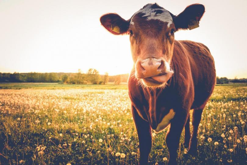 bovino e