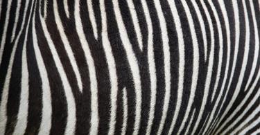 Um grupo de cientistas pintou riscas de zebra em vacas - segundo os autores do estudo Cows painted with zebra-like striping can avoid biting fly attack, publicado na revista Plos One, o método incomum pode funcionar como um repelente de insetos para o gado e, consequentemente, diminuir o uso de pesticidas e inseticidas.