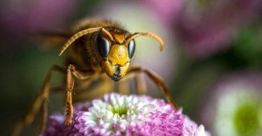 Penacova instala 400 armadilhas para combater a vespa asiática
