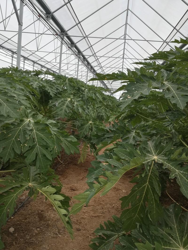 estufa papaia
