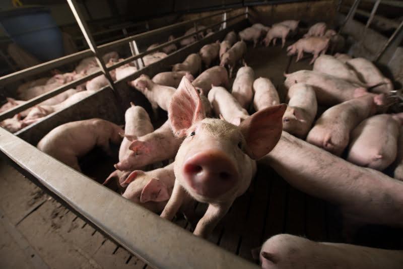 Produtores de suínos obrigados a declarar existências para controlo da doença de Aujeszky