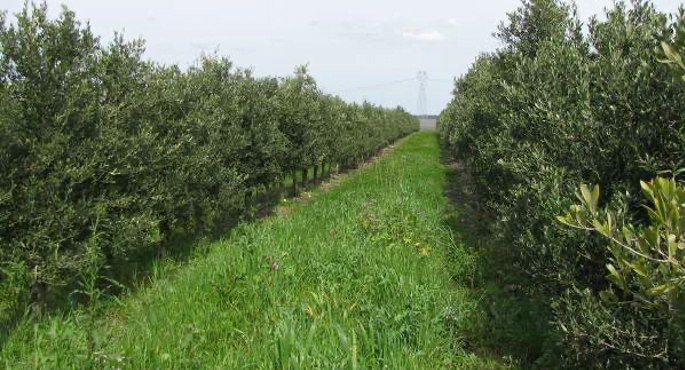 Olival Shd com coberta vegetal e gerido em produçãointegrada