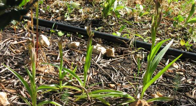 Exemplos de orquideas do genero Serapias na linha de baixo das oliveiras.