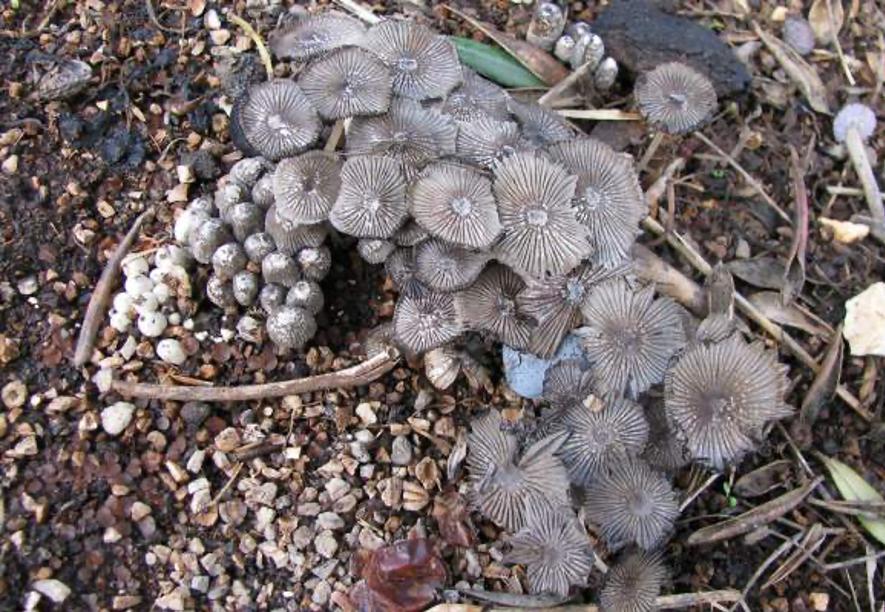 Corpos fructiferos do gênero coprinus que se pode observar na linha debaixo das oliveiras