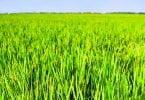 Corteva Agriscience lança um novo herbicida para cultura do arroz