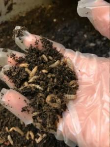 Composto de Inseto ou Entomocomposto (Fonte: https://www.atl.nu/lantbruk/larver-komposterar-avfall-och-blir-djurfoder/)