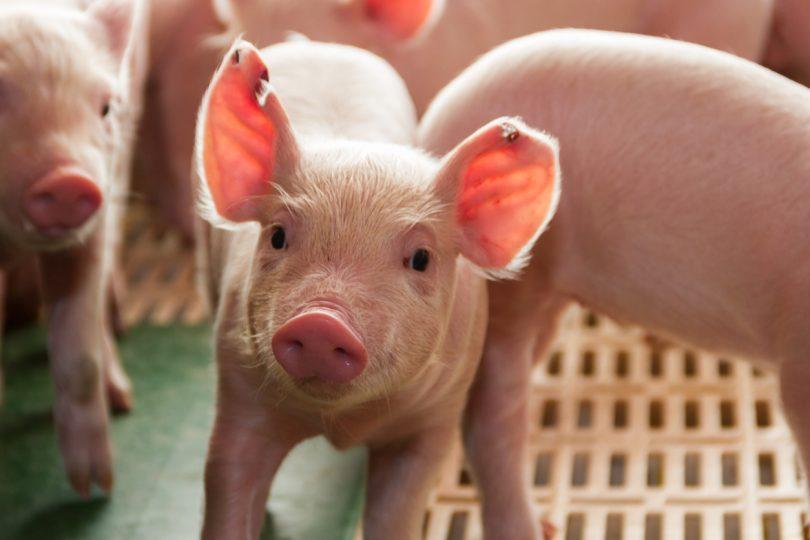 DGAV pede reforço de medidas de prevenção da peste suína africana