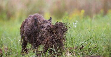 Permitida caça aos javalis para proteger culturas agrícolas