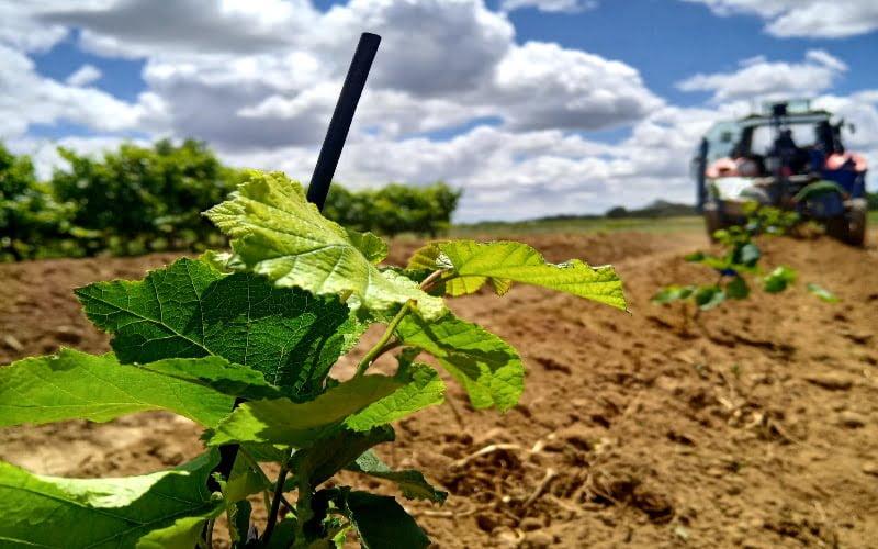 Aveleiras em sebe em regime de regadio testadas na Agroglobal