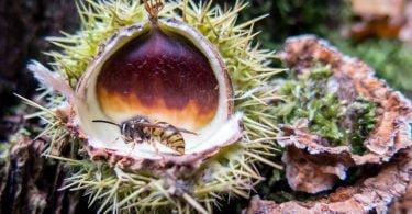 Largadas de Torymus sinensisvespa da galha do castanheiro