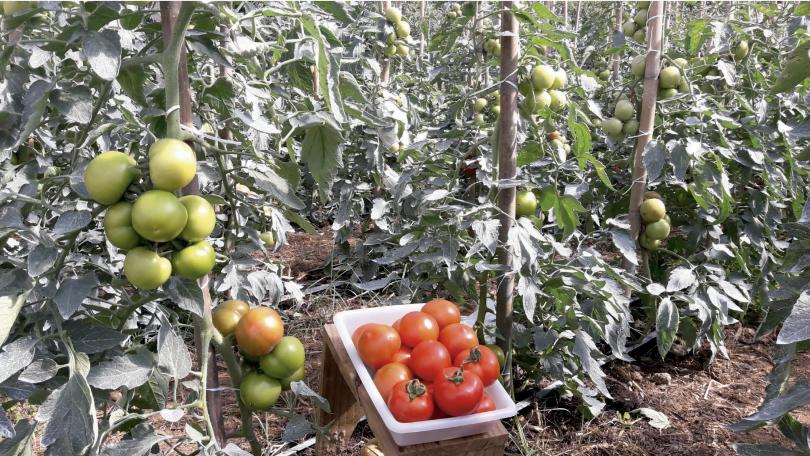 Brasil desenvolve sistema inovador para tomate biológico